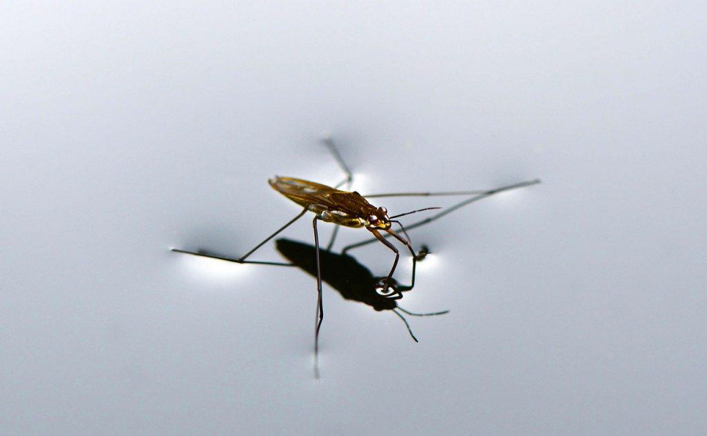 a mosquito drinking on still water