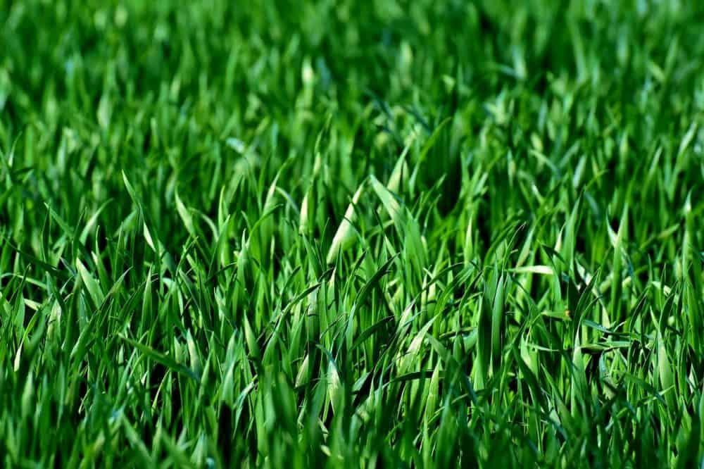 grass growing green in the summer