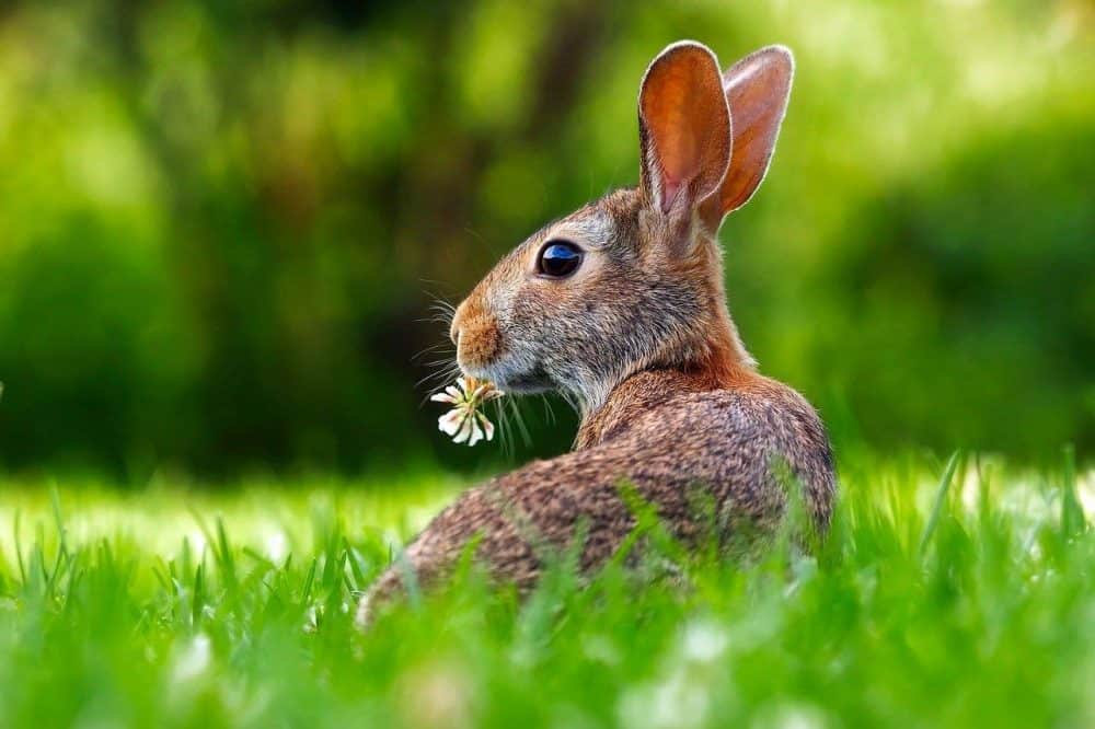 a bunny eating weeds in a green lawn
