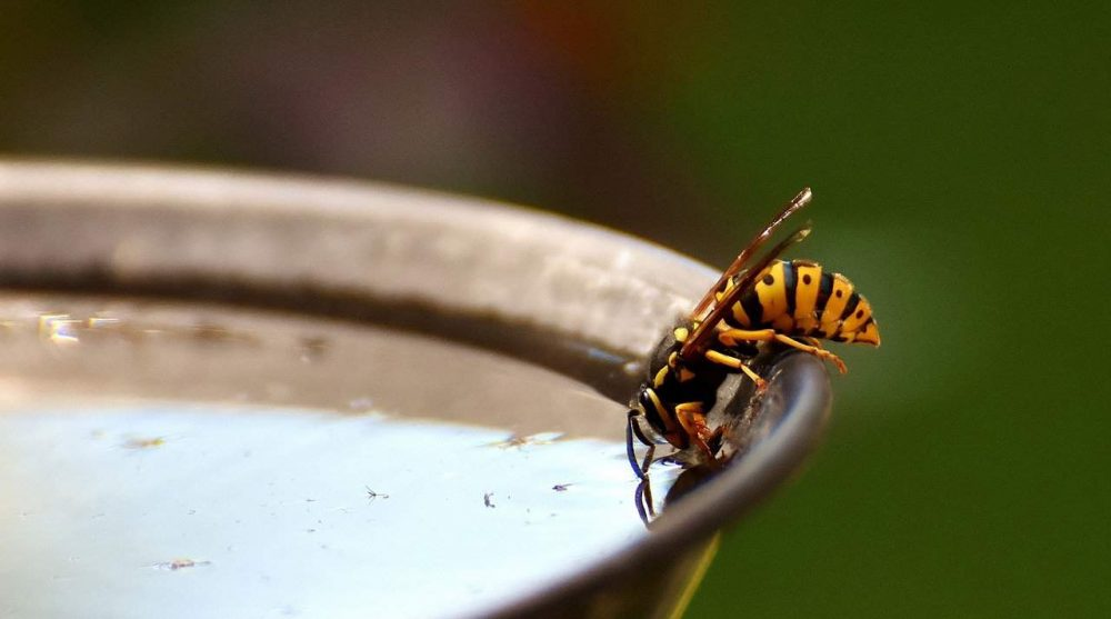 wasp drinking out of a water pan