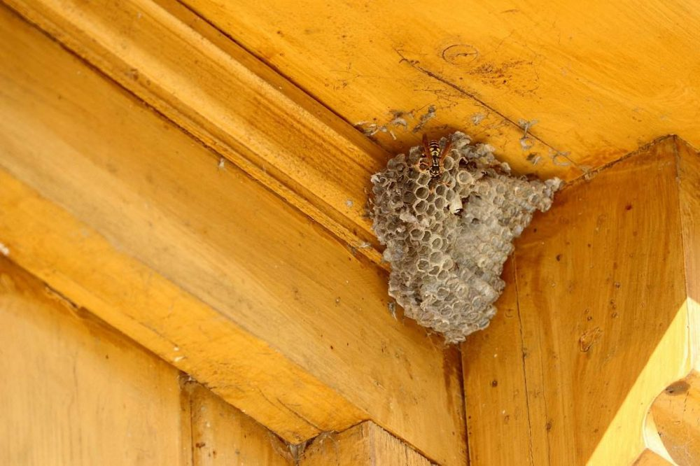 a wasp nest