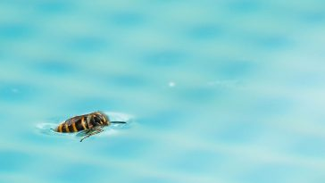 wasp in a swimming pool