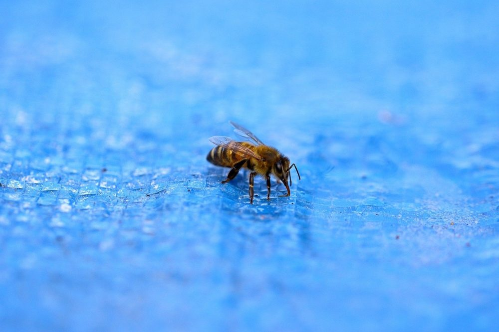 a honey bee drinking water from a swimming pool