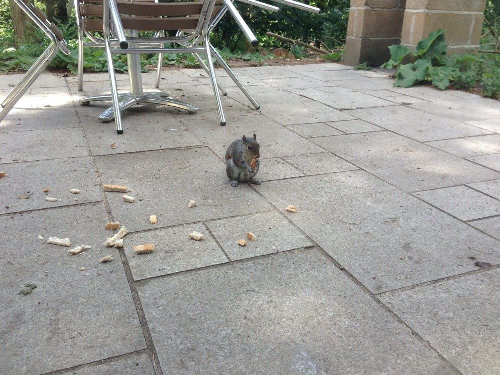 a squirrel looking to chew on patio furniture