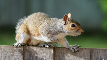 a squirrel on a fence about to be chewing on patio furniture