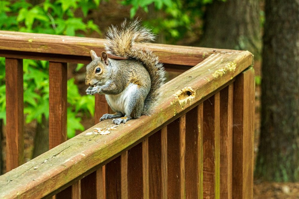a squirrel chewing on deck furniture