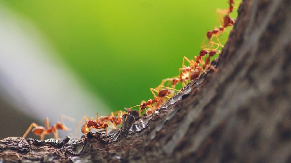 a line of ants marching through a backyard towards an ant hill
